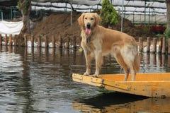 Золотой Лабрадор на шлюпке Стоковая Фотография