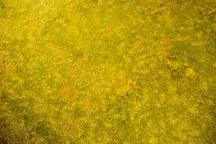 Золотой мох под водой, золотой предпосылкой текстуры созданной мимо под мхом воды стоковая фотография rf