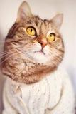 Золотой наблюданный кот с свитером стоковое изображение rf