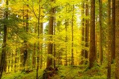 Золотой осенний лес Стоковые Изображения RF