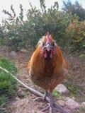 Золотой петух Прям-на Стоковые Фото