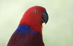 Золотой попугай Стоковое Фото