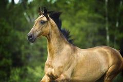 Золотой портрет akhal-teke лошади в движении в лете Стоковое Изображение RF