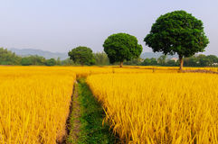 Золотой рис имеет 3 дерева Стоковые Фото