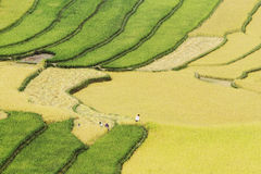 Золотой сбор на террасных полях Стоковая Фотография RF