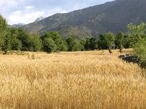 Золотой сбор пшеницы в гималайских пшеничных полях n обрабатываемой земли террасы степи горы Стоковые Фото