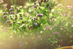 Золотой свет в утре с лугом весны против предпосылки голубые облака field wispy неба природы зеленого цвета травы белое Трава и с Стоковые Фото