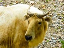 Золотой такин идя на парк дикого животного Шанхая Стоковые Фото