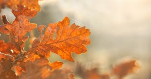 Золотой дуб Стоковое Изображение RF