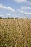 Золотой луг под голубым небом с облаками белизны Стоковое фото RF