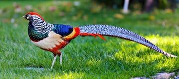 Золотой фазан или китайский фазан Стоковое Изображение