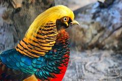 Золотой фазан - красивая птица Стоковые Изображения RF