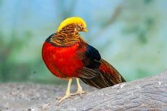 Золотой фазан на ветви Стоковые Фото