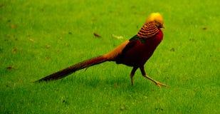 Золотой фазан Стоковое фото RF