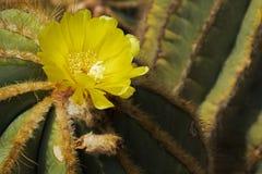Золотой цветок кактуса шарика Стоковое Фото
