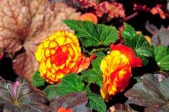Золотой цветок ноготк стоковые изображения