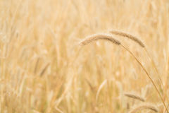 Золотой цветок травы (трава пера) с солнечным светом Стоковые Изображения