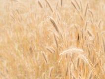Золотой цветок травы (трава пера) с солнечным светом Стоковое Изображение