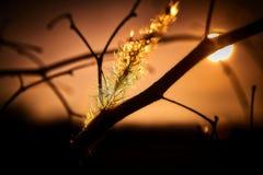 Золотой час завода травы Cogon Стоковые Фотографии RF