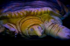 Золотой черепаха обстреливаемая нежностью Стоковые Изображения RF