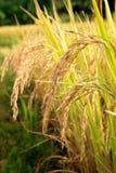 Золотой шип риса в поле риса, Чиангмае, Таиланде Стоковое фото RF