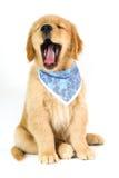 Золотой щенок с открытым ртом на белой предпосылке стоковое изображение