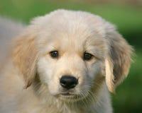 Золотой щенок 3 стоковое изображение