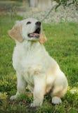 Золотой щенок retriver Стоковые Изображения