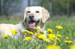 Золотой Retriever лежа в траве Стоковое Изображение