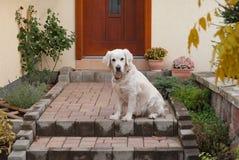 Золотой retriever ждать на вашей двери Стоковое Изображение