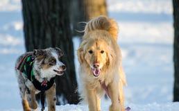 Золотой Retriever и австралийские собаки чабана играя в снеге Стоковое фото RF