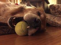 Золотой Retriever и теннисный мяч Стоковые Изображения RF