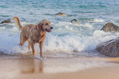 Золотой retriever на пляже Стоковая Фотография RF