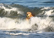 Золотой Retriever на пляже Стоковое Изображение RF