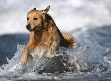 Золотой Retriever на пляже Стоковая Фотография
