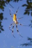 Золотой silk ткач шара, или паук банана (clavipes Nephila) в сети Стоковые Изображения RF