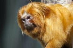 Золотой tamarin льва Стоковые Фотографии RF