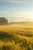 Золотой wheatfield в туманном утре Стоковое фото RF