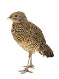 Золото женщины фазана стоковые изображения rf