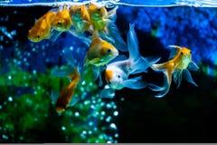 Золото удит заплывание Стоковое Фото
