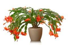 золото фольги рождества кактуса ветви смычка висит тесемку Стоковые Изображения RF