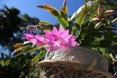 золото фольги рождества кактуса ветви смычка висит тесемку Стоковое Изображение RF