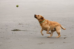 Золотые лаборатория и теннисный мяч Стоковое Изображение