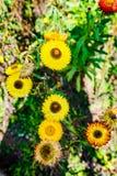 Золотые вековечные цветки или strawflowers стоковые изображения rf