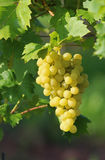 Золотые виноградины на лозе Стоковая Фотография RF