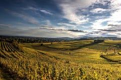 Золотые виноградники Стоковая Фотография