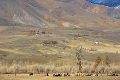 Золотые горы Altai Стоковые Изображения