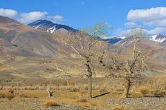 Золотые горы Altai Стоковое Изображение RF