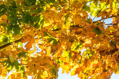 Золотые желтые листья падения осени стоковая фотография