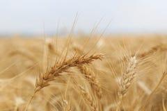 Золотые зрелые уши пшеницы в поле стоковое изображение rf